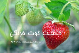 کاشت توت فرنگی در فصول سرد سال