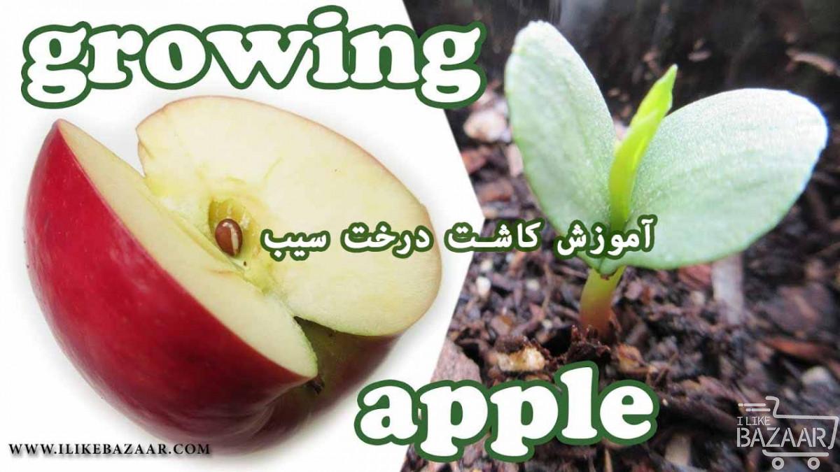 تصویر شماره آموزش کاشت درخت سیب در مزرعه