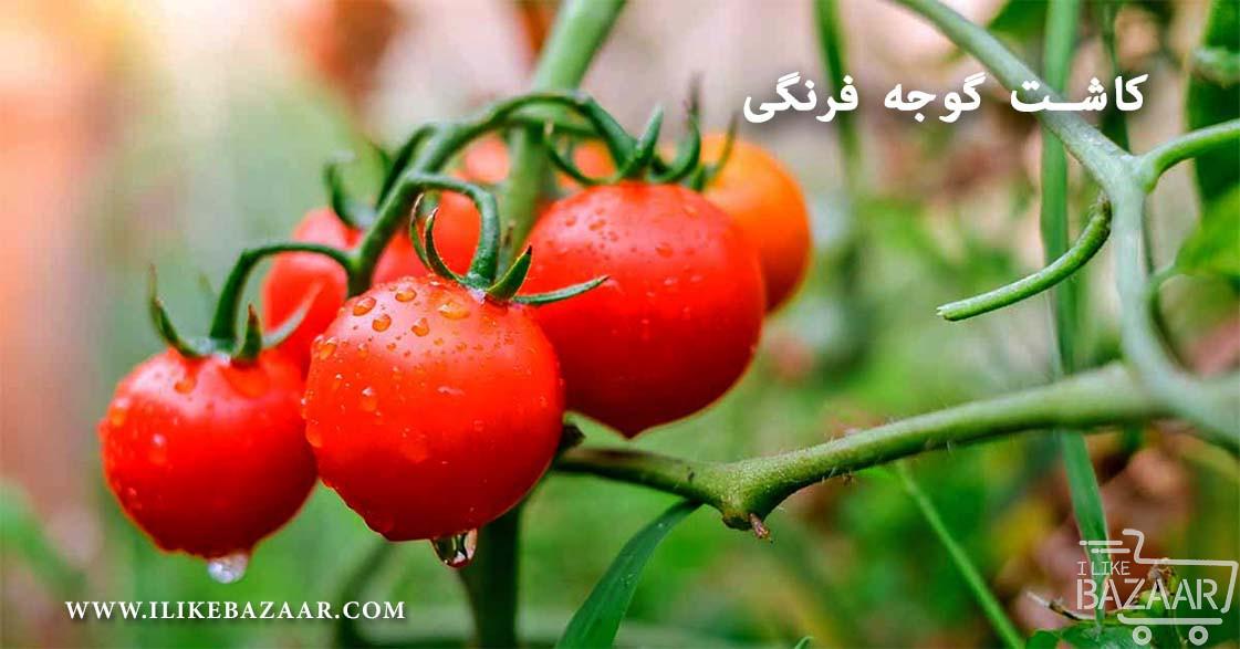 تصویر شماره آموزش کاشت گوجه فرنگی در زمین کشاورزی