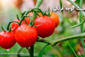 آموزش کاشت گوجه فرنگی در زمین کشاورزی