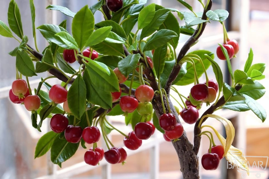 تصویر شماره چگونه کاشت میوه گیلاس را انجام دهیم