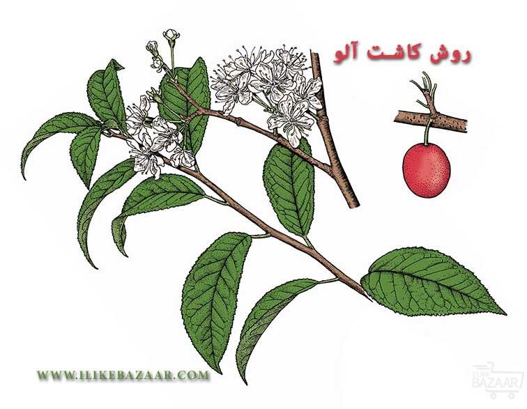تصویر شماره روش کاشت آلو و نکات مهم برای پرورش این میوه