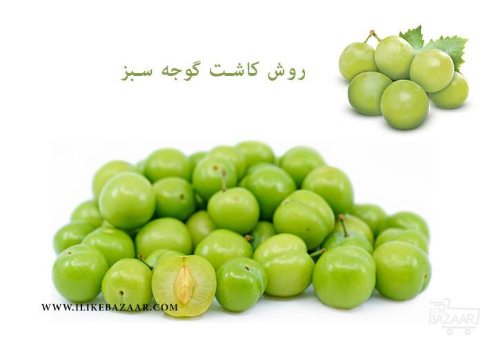 تصویر شماره روش کاشت گوجه سبز چگونه است