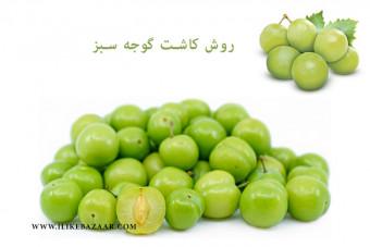 روش کاشت گوجه سبز چگونه است
