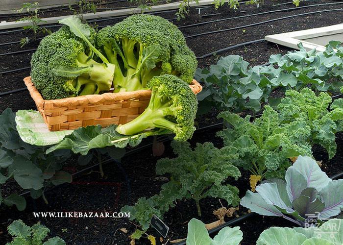 تصویر شماره نحوه کاشت کلم بروکلی در مزرعه