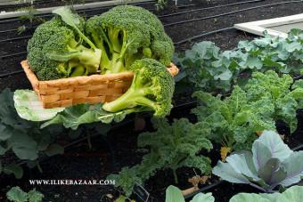 نحوه کاشت کلم بروکلی در مزرعه